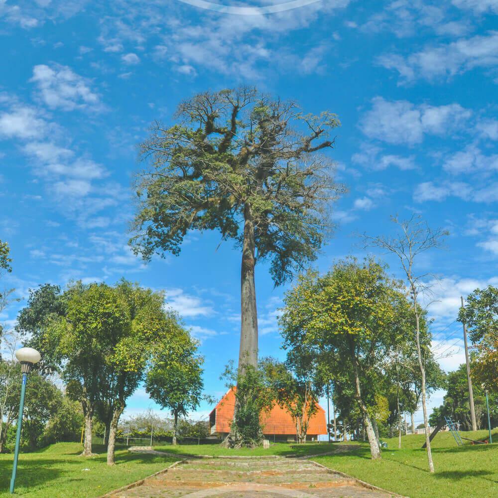 Árvore Paineira Na Praça Werner Gross