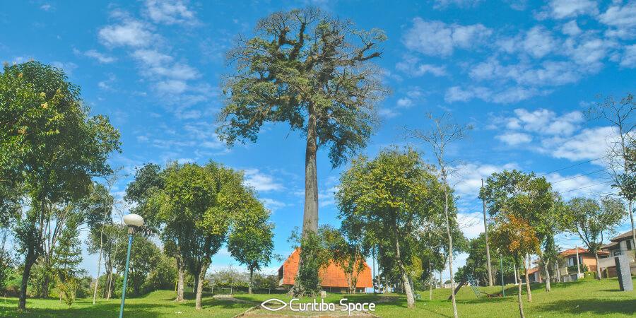 Árvore Paineira na Praça Werner Gross - Curitiba Space