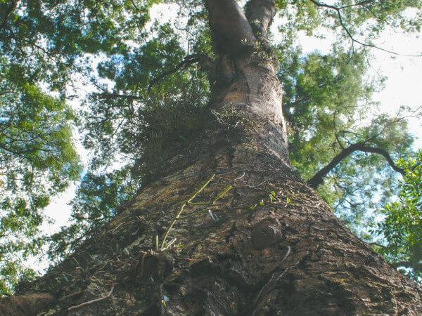 Árvore Angico Branco