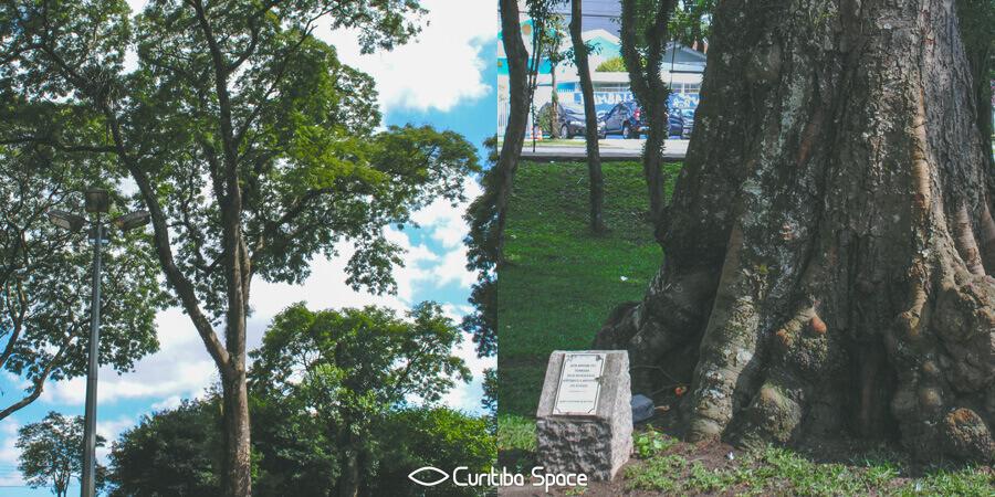 Árvore Angico Branco - Curitiba Space